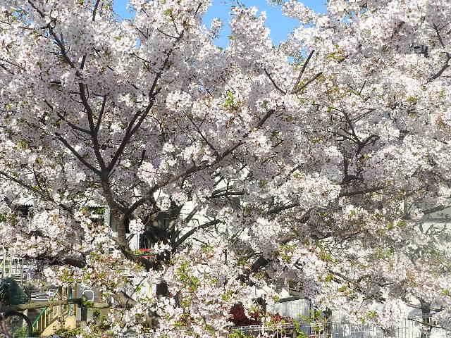 東京都日中 盛沢山!3/29(金)桜満開予想!夜は「経済ビジネス会議」、午後は「桜まつり」@渋谷